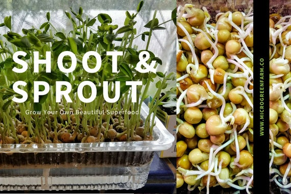 Shoots n Sprouts, Peas Two Ways are Awesome! Kit to Do Both Right in Your Own Home!