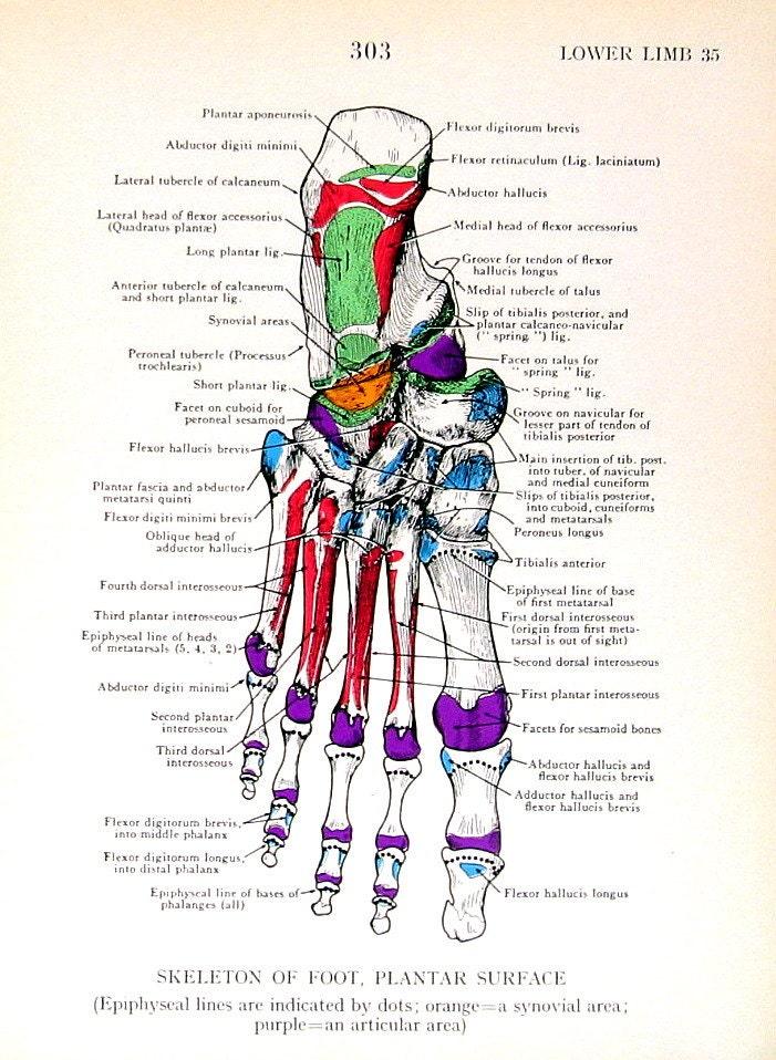 Nett Fuß Bild Anatomie Bilder - Menschliche Anatomie Bilder ...