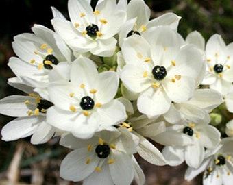 1 dahlia twynings smartie fuchsia white color flower bulb summer starburst ornithogalum flower bulb white color summer bloom perennials mightylinksfo