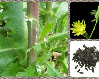 Wild Lettuce 10/25/50/100 Seeds ~Lactuca virosa~ Wild Lettuce Seeds **Free Bonus Seeds with Every Order**