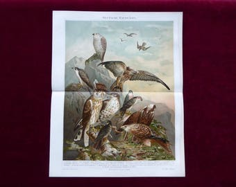 Chromolithograph German birds of prey