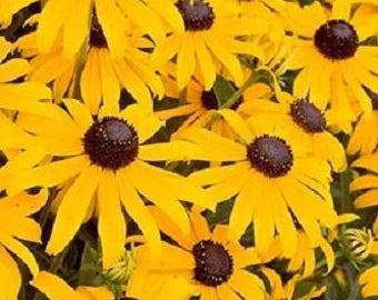 2000 BLACK EYED SUSAN Rudbeckia Hirta Yellow Heirloom Native Flower Seeds *Comb S/H