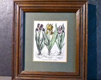 Iris latifolia, Hortus Eystettensis - Besler, reprint 1610, is framed, botanical print, gift for her, iris flower