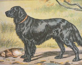 ANTIQUE 1907 Flat haired RETRIEVER signed dog print Chromolithograph Mahler German artist Collectors item Christmas, Birthday gift Authentic