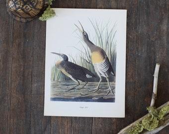 Vintage Audubon Bird Print // Gallery Wall // Clapper Bird // Naturalist Print // Vintage Bird Print // Bird Art //