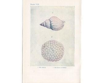 C. 1907 ANTIQUE SEA LIFE  lithograph - original antique print - sea life marine beach ocean - the whelk