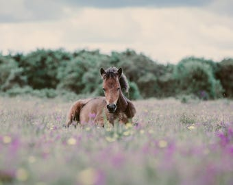 New Forest Foal | Horse Fine Art Photography | Horse Photography | Equine Fine Art Print | Nursery Print | Wall Art | Baby Animal | Foal