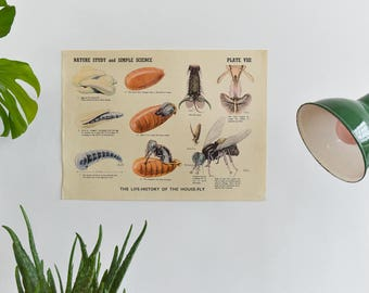 Vintage Nature Study & Simple Science House Fly School Educational Poster / Print