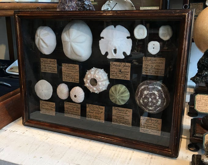 Mounting / display cabinet / display style Museum sea urchins