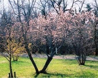 100 Manchurian Apricot Tree Seeds, Prunus Mandshurica