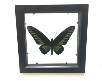 Beautiful Birdwing Butterfly Ornithoptera Trogonoptera Brookiana  Male Butterfly/Insect/Taxidermy/Lepidoptera.