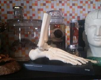 Vintage Geigy Butazolidin Medical Model, Skeletal Foot