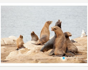 California Seals // Nature Wildlife Fine Art Photography -  Animal Landscape