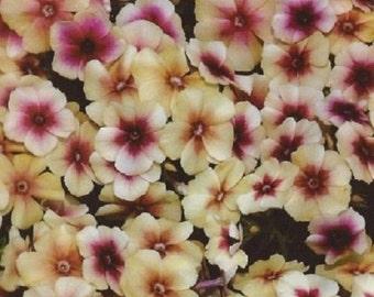 30+ Phlox Cherry Caramel / Perennial Flower Seeds