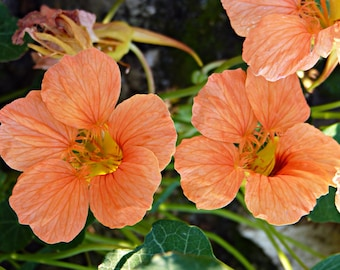 Nasturtium seeds Coral Shine Tropaeolum majus Flowers Seeds from Ukraine #1263