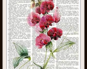 Sweet Pea flowers Vintage Illustration  Art Print---Fits 8x10 Mat or Frame