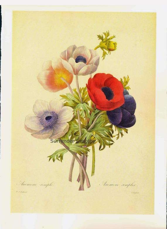 Anemone Coroniaria Flower Bouquet Vintage Illustration