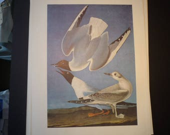 Bonaparte's Gull - Audubon Color Plate from 1821  - New Orleans - gift for birders - nature lovers oversize 13 by 10 three bird composition