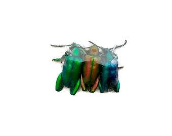 Frog-legged Beetle Sagra longicollis Real Insect Pack of 3
