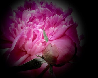 Fine Art Flower Photography, Pink Floral Print, Flower Wall Art, Pink Peony Collection