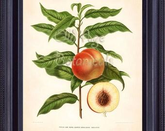 FRUIT PRINT Wendel 8x10 Vintage Art Plate 32 Peaches Green Leaves Garden Kitchen Wall Decor to Frame FV0305