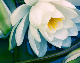 White Water Lily Photograph,  Water Lily Print, Nature  Photography, Flower Art, Waterlily Photo