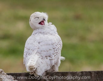 Snowy Owl in Central Ky. #2366