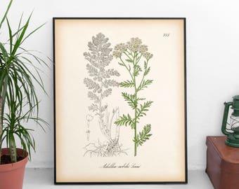 Yarrow print, Botanical print, Medicinal herbs, Vintage botanical illustration, Botanical printable art, Home wall art, Botanical decor