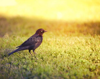 Bird Photography - Bird Photo - Black Bird Print - Colorful Sunset - 8x10 8x8 10x10 11x14 12x12 20x20 16x20 - Photography