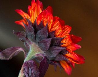 Red Sunflower 4
