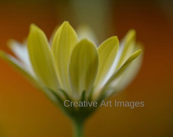 Soft Yellow Flower, Canvas Print, Yellow Flower Photograph, Yellow Flower Image #588