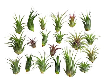 20pc Air Plant Ionantha Tillandsia Lot / Wholesale Tillandsias / Bulk Air Plants
