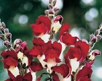 Antirrhinum Night & Day Snapdragon Flower Seeds / Annual 50+