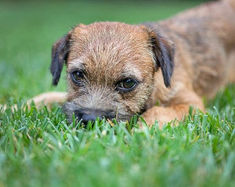 Little Toffee, Border Terrier Photo, Blank Card