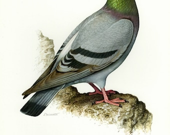 Vintage lithograph of the rock dove or rock pigeon from 1956