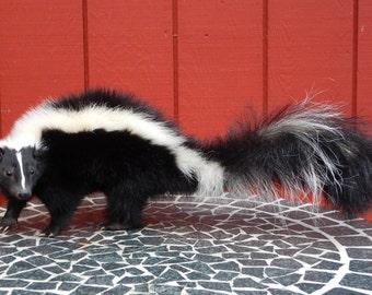 Skunk Taxidermy