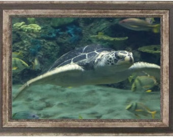 Sea Turtle swimming framed photograph