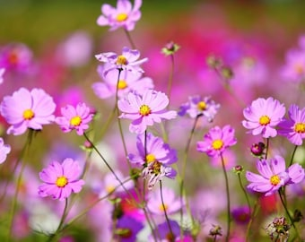 Plastic placemat cosmos flowers