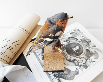 Taxidermy Singing Bird FINCH Symbol of Joy and Happiness