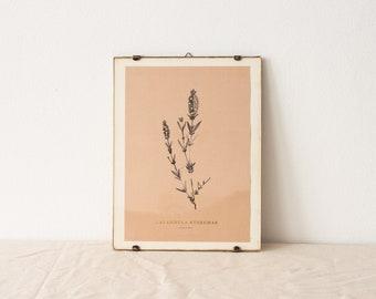 Lavandula Stoechas - wild lavender botanical watercolor art print