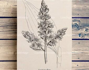 Printable images, Vintage Botanical Illustration, Hellebore Digital print, Download Artwork, Antique art, Veratrum Album, JPG PNG 300dpi