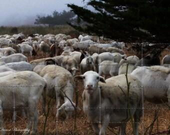 Sausalito California- home Décor- Wall art- Fine Art Photography- Custom sizing- Lamb print- Lamb photo- California Print-