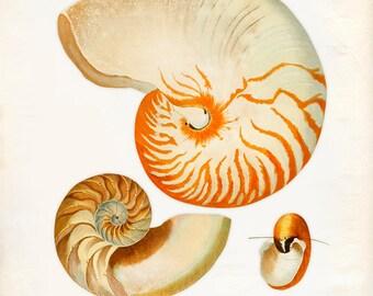 Vintage Sea Shell Nautilus Pompilius Print 8x10 P265