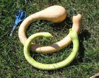 Zucchini Rampicante Squash Seeds - Trombone Squash, Climbing zucchini, Moschata, Squash Seed, Winter Squash, Vining Zucchini, Italian Squash
