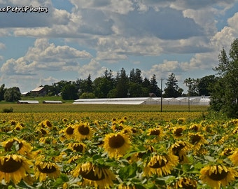 Sunflower Fields Forever, Bogle Seeds, Sunflowers, Landscape Photography, Yellow Flower Prints, Cottage Chic, Fine Art Photo, free shipping
