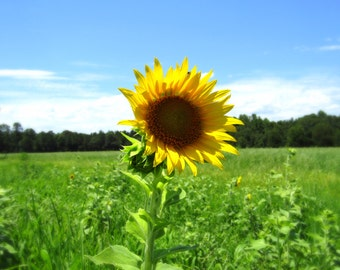 Summer Sunflower.Flower Photography.Yellow Flower.Digital Download.Printable.Summer Photography.Sunflower.Sunny Day