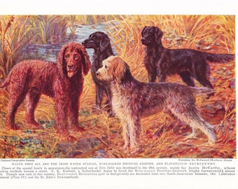 1930s Irish Water Spaniel Griffon Retriever Dog Print -  Vintage Antique Animal Pet House Home Decor Book Plate Art Illustration for Framing