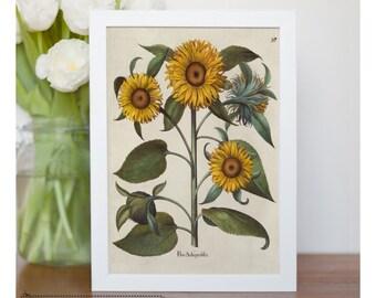 """Vintage illustration of Sunflower - framed fine art print, flower art, 8""""x10"""" ; 11""""x14"""", FREE SHIPPING -  95"""