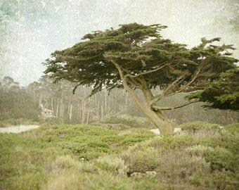 Landscape Photography, Cypress Trees, California, Nature Photo, Monterey, Pebble Beach, Fine Art Print, Sage Green, Cream, Rustic Decor