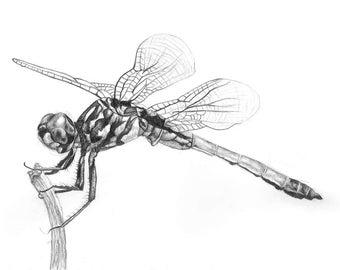 Dragonfly Illustration - Pencil